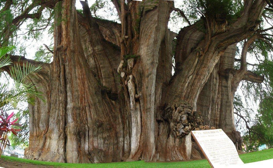 árbol del Tule cerca de Oaxaca