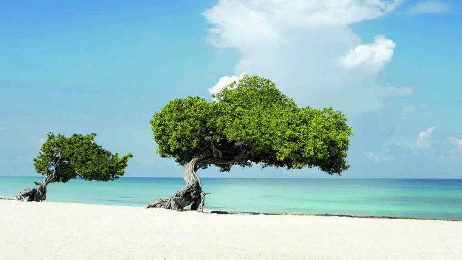 árboles Divi Divi