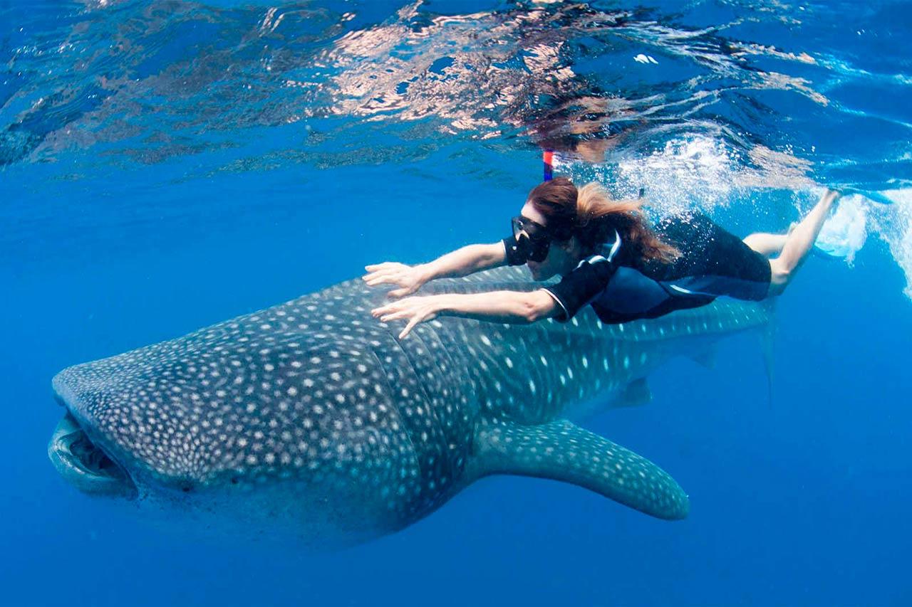 nadar con tiburón ballena